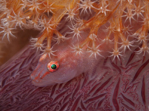 Goby on soft coral. Tulamben, Bali by Doug Anderson